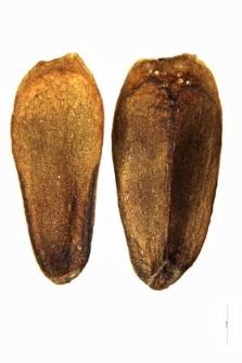 Betonica officinalis L.