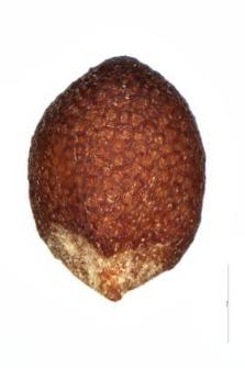Mentha rotundifolia (L.) Huds.