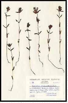 Rhinanthus minor L.