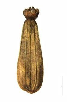 Valeriana sambucifolia J. C. Mikan