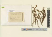 Cyrtopus setosus (Hedw.) Hook. fil.