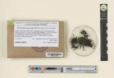 Bucklandiella lamprocarpa (Müll.Hal.) Bedn.-Ochyra & Ochyra