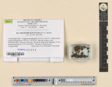 Orthotrichum pumilum Sw.