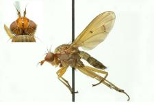Tetanocera ferruginea Fallen, 1820
