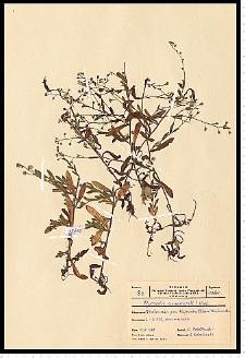 Myosotis arvensis (L.) Hill