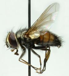 Carcelia rasa (Macquart, 1849)