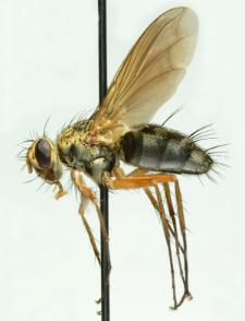 Dexiosoma caninum (Fabricius, 1781)