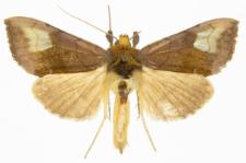 Diachrysia chryson