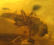 Diptera (Brachycera)
