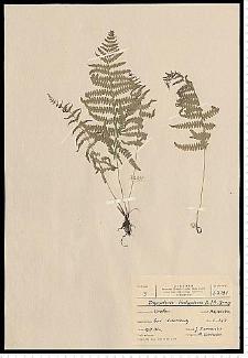 Thelypteris palustris Schott
