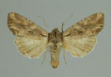 Lacanobia suasa (Denis & Schiffermüller, 1775)