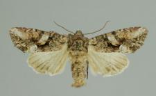Lacanobia contigua (Denis & Schiffermüller, 1775)