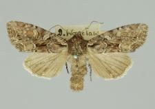 Lacanobia thalassina (Hufnagel, 1766)