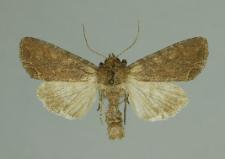 Lacanobia oleracea (Linnaeus, 1758)