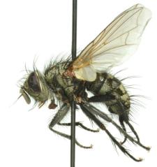 Phorocera obscura (Fallen, 1810)