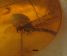 Trichoneura