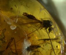 Trichoneura gracilistylus