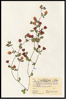 Trifolium campestre Schreb.