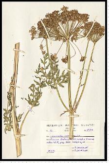 Libanotis pyrenaica (L.) Bourg.