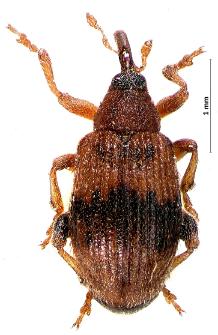 Rhynchaenus lonicerae (Herbst, 1795)