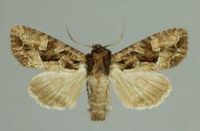 Lacanobia w-latinum (Hufnagel, 1766)