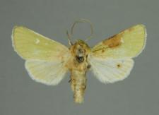 Calamia tridens (Hufnagel, 1766)