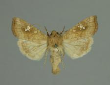 Amphipoea oculea (Linnaeus, 1761)