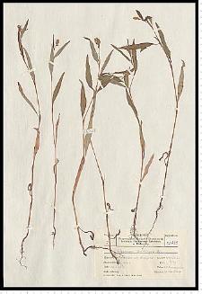 Polygonum lapathifolium L. subsp. brittingeri (Opiz) Rech. f.