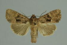 Mesapamea secalis (Linnaeus, 1758)