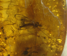 Trichoneura vulgaris