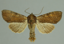 Apamea crenata (Hufnagel, 1766)