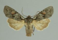 Lithophane furcifera (Hufnagel, 1766)