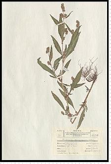 Polygonum lapathifolium L. subsp. pallidum (With.) Fr.