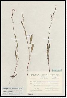 Rumex acetosella L.