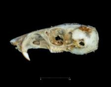 Perognathus baileyi