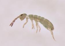 Isotoma viridis