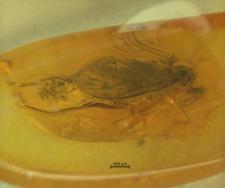 Mycetobia christelae