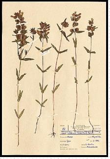 Rhinanthus serotinus (Schönh.) Obornţ