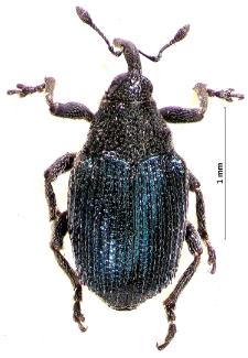 Ceutorhynchus erysimi (Fabricius, 1787)