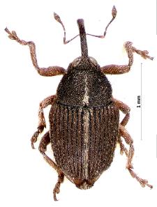 Oprohinus suturalis (Fabricius, 1775)