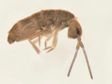Tomocerus minor