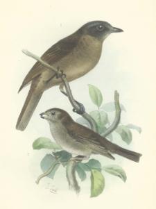 Deuxième liste des Oiseaux recueillis dans l'Ecuadeur occidental par MM. Stolzmann et Siemiradski