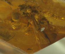 Sylvicola hoffeinsorum