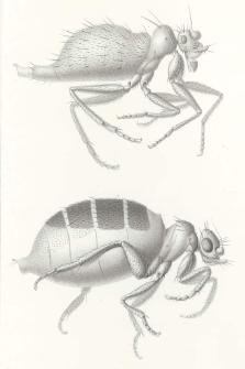 Die Stethopathidae, eine neue flügel- und schwingerlose Familie der Diptera
