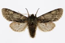 Brachionycha nubeculosa