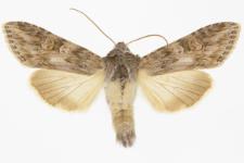 Cucullia artemisiae