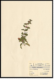 Mentha x verticillata L.
