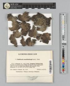 Umbilicaria muehlenbergii (Ach.) Tuck.