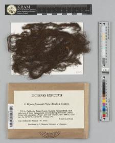 Bryoria fremontii (Tuck.) Brodo & D. Hawksw.