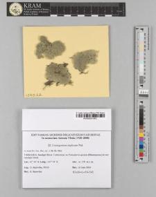 Coenogonium implexum Nyl.